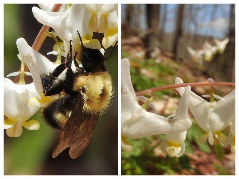 Natural Connections: Bees And Breeches