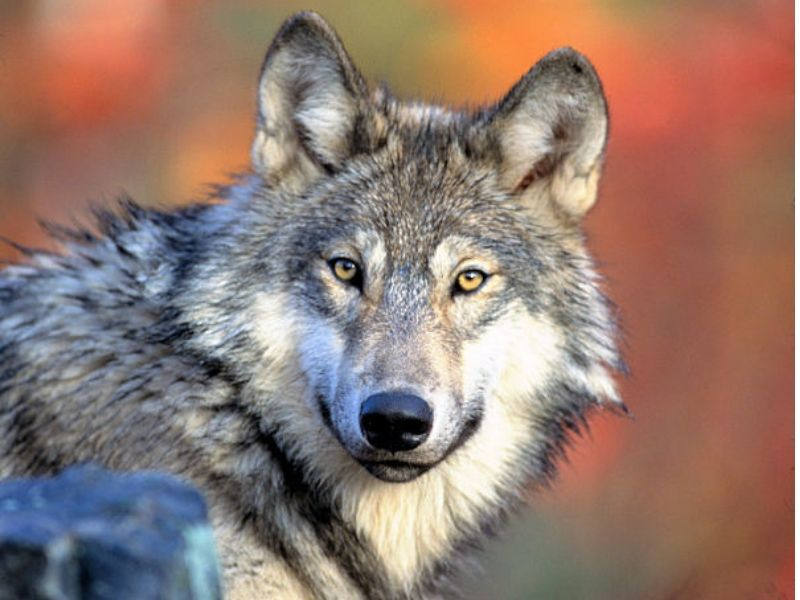 DNR: Wisconsin's Wolf Population Remains Healthy, Stable