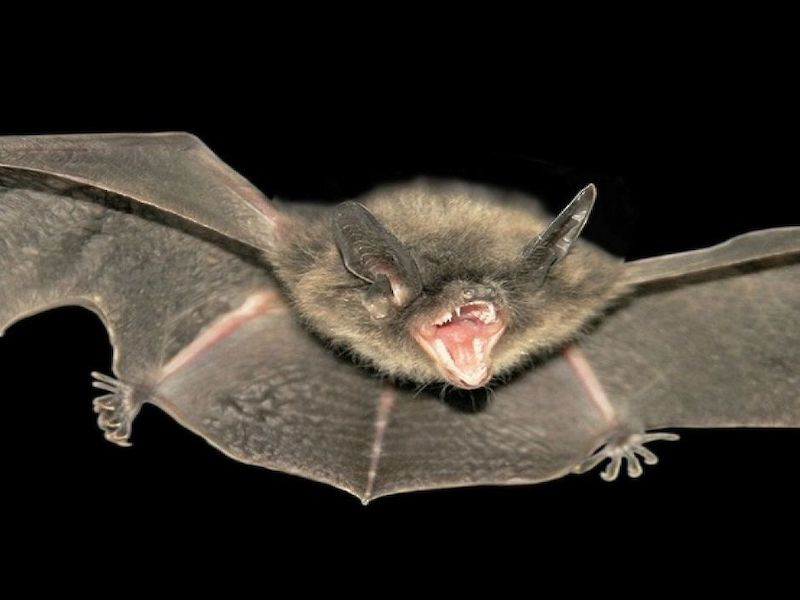 Rabid Bat Found In Barron County