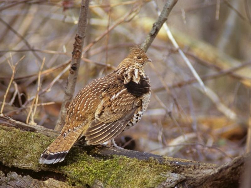 Ruffed Grouse West Nile Virus Results Now Available
