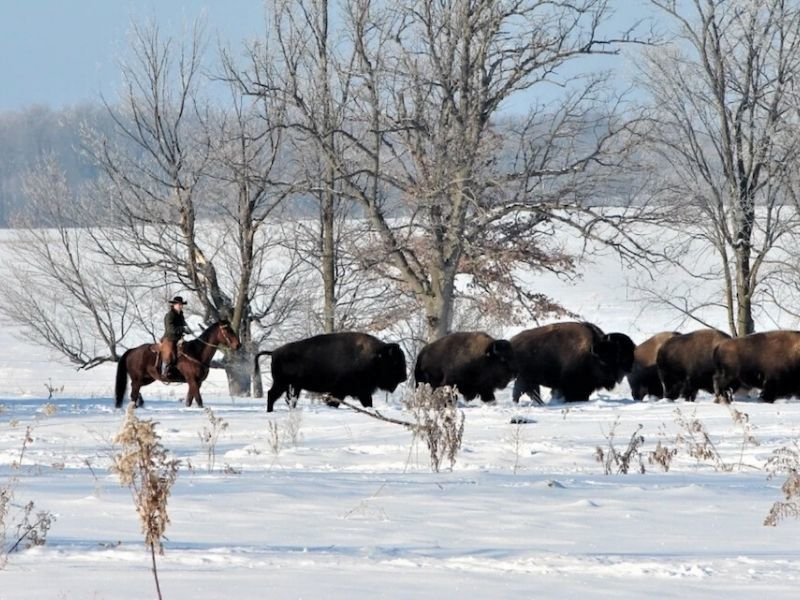 Bison Herds Are Growing In Wisconsin