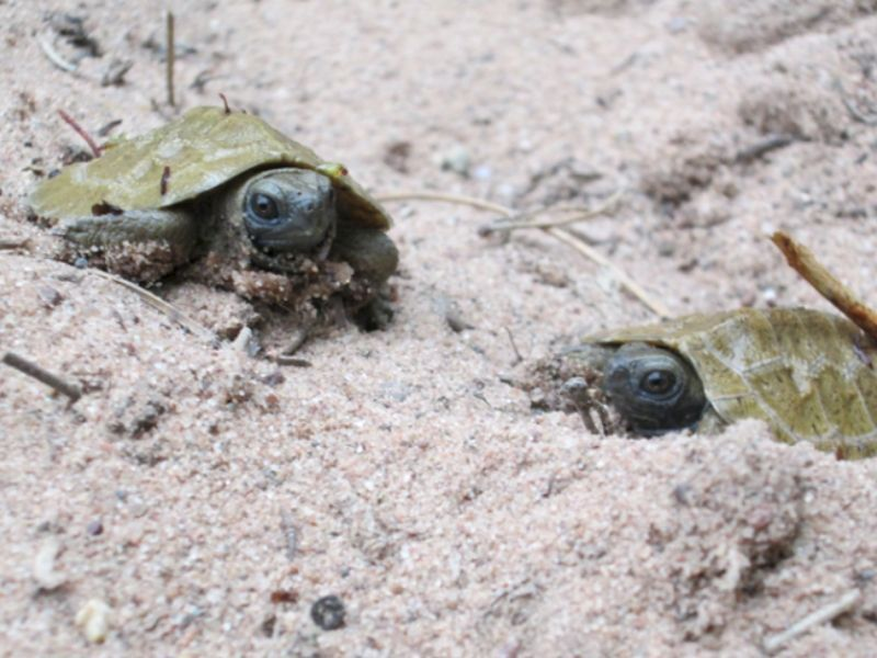 Wisconsin DNR Biologists Asking Public To Continue Reporting Turtle Crossings Online For The Turtle Conservation Program