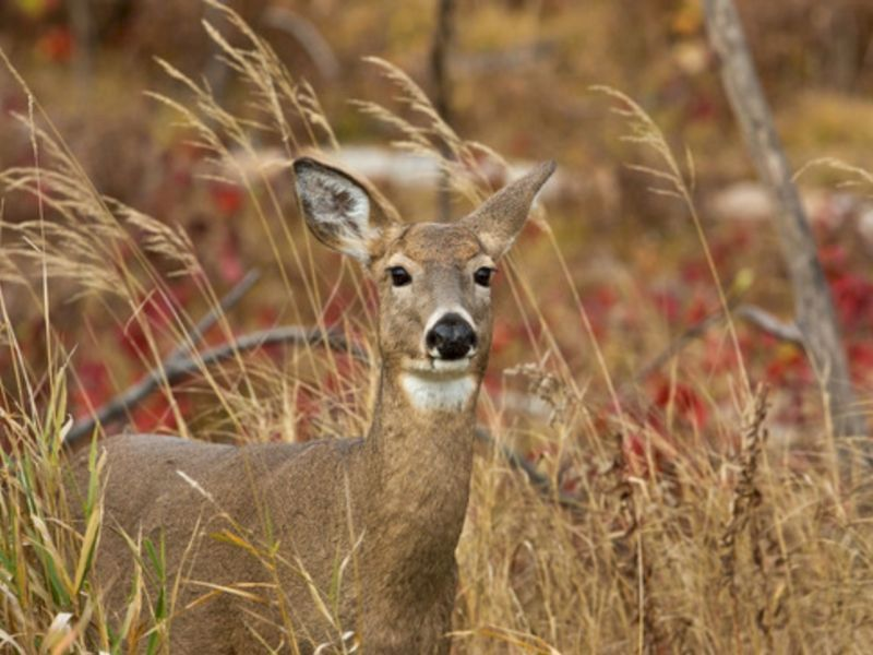 Help Shape Deer Season For Your Community By Joining Your County's Deer Advisory Council
