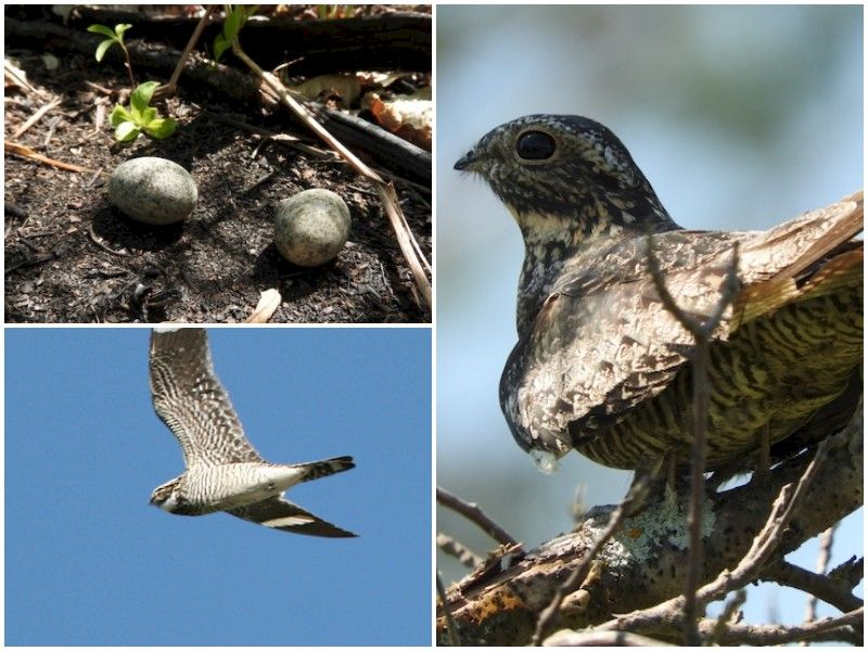 Natural Connections: Nighthawks Nesting