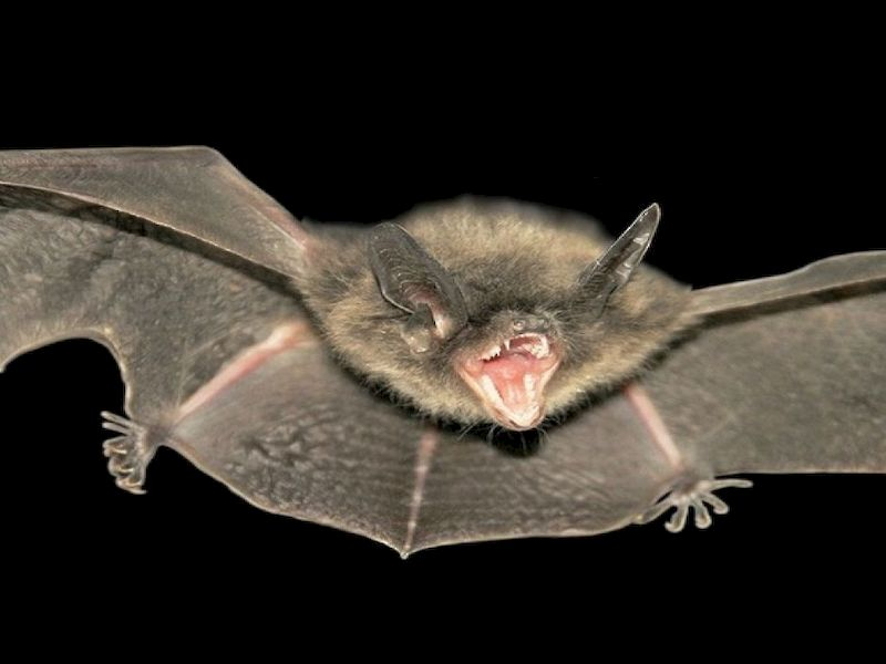 Bat In Washburn County Tests Positive For Rabies
