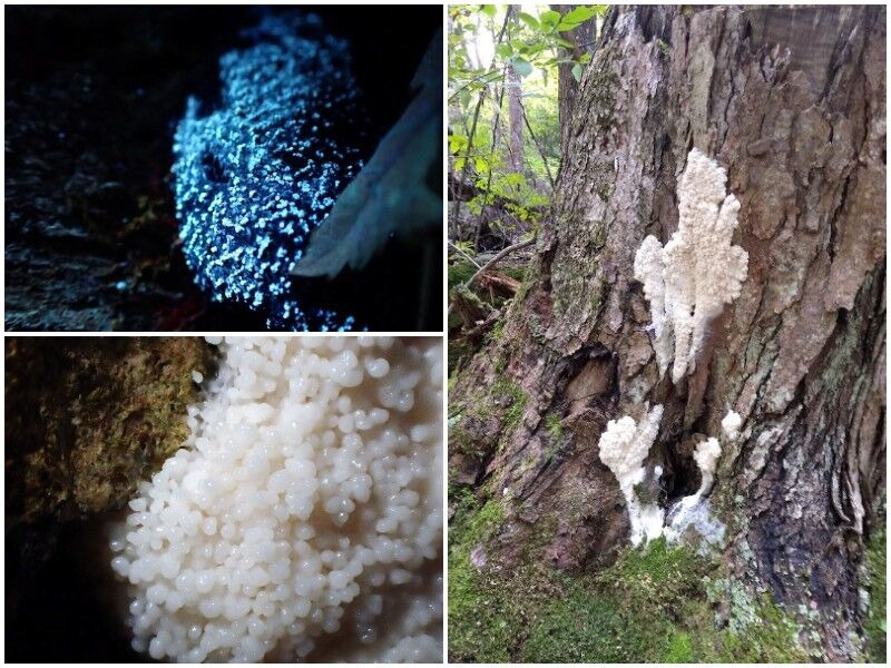 Natural Connections: Tapioca Slime Mold