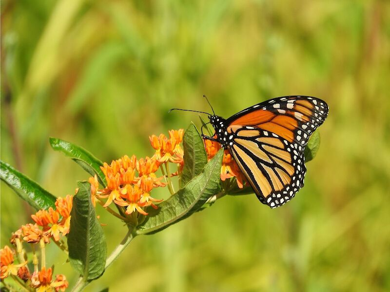 Natural Connections: The Demise Of The Monarch