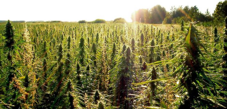 Hemp Producers Say Crop Would be Good for Wisconsin Farmers