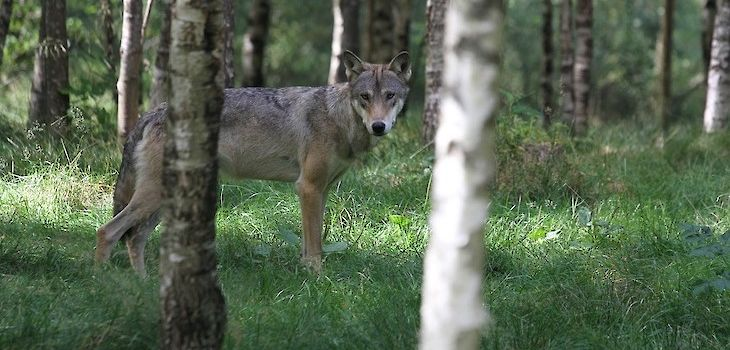 Wisconsin Legislators Propose Bill to Manage Wolf Population