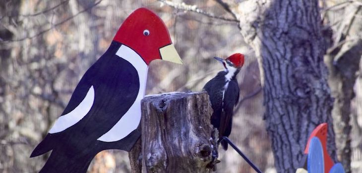 The Pileated Woodpecker is the Largest North American Woodpecker