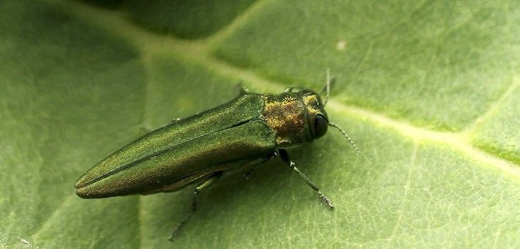 Emerald Ash Borer Quarantine Now Statewide