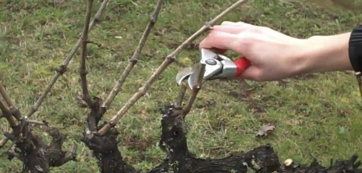 Grape Pruning Workshop Saturday April 14, 2018
