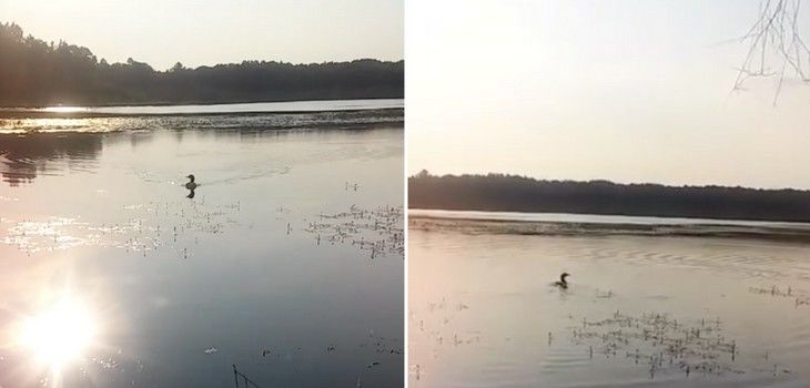 (Video) Area Resident Reunites Lost Baby Loon w/ 'Mama'