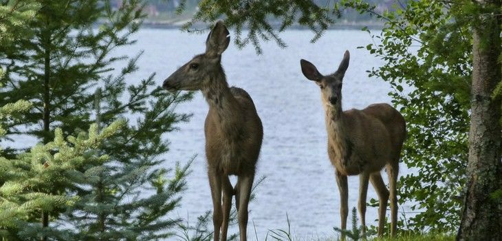 Annual Volunteer-based Deer Survey to Begin August 1
