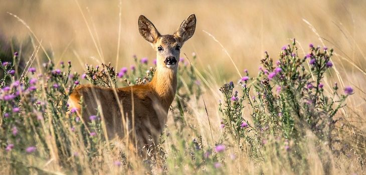 Antlerless Deer Tag Sales Start Next Week