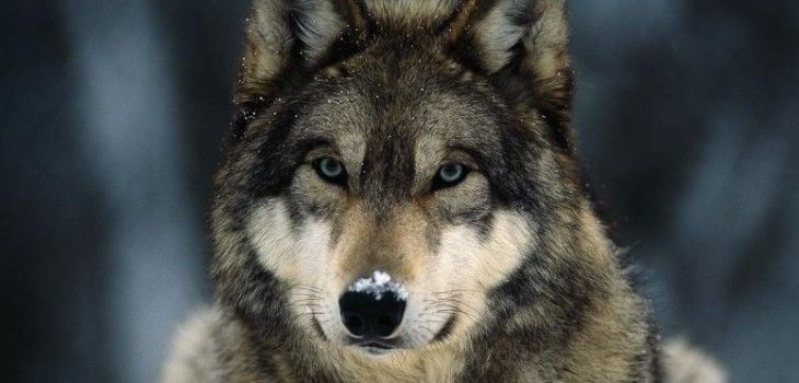 Congressman Sean Duffy Introduces Legislation To Delist The Gray Wolf