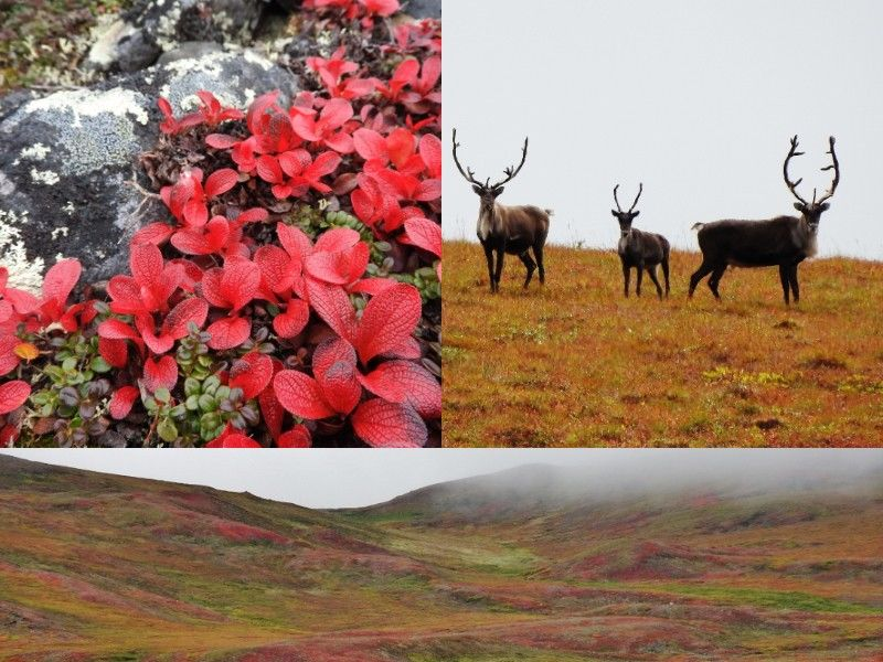 Natural Connections: Fall Colors and Caribou