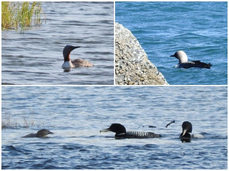 Natural Connections: Four out of Five Loons