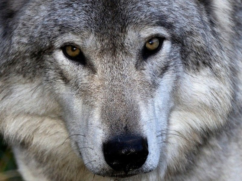 Duffy's Legislation To Delist The Gray Wolf Passes House