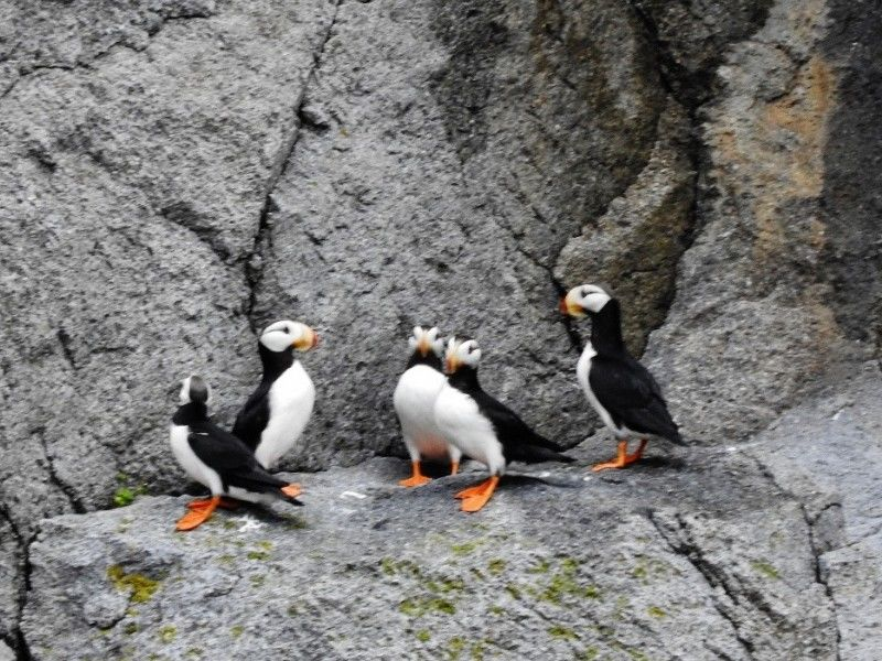 Natural Connections: Puffins