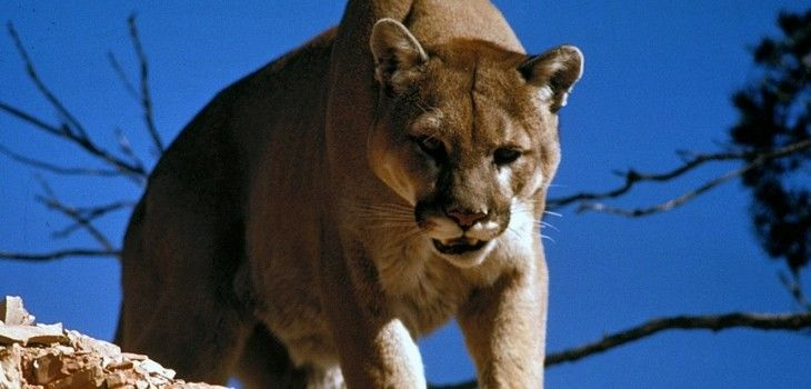 Turtle Lake Hunters Plead Guilty To Crimes Related To Illegal Mountain Lion Hunt