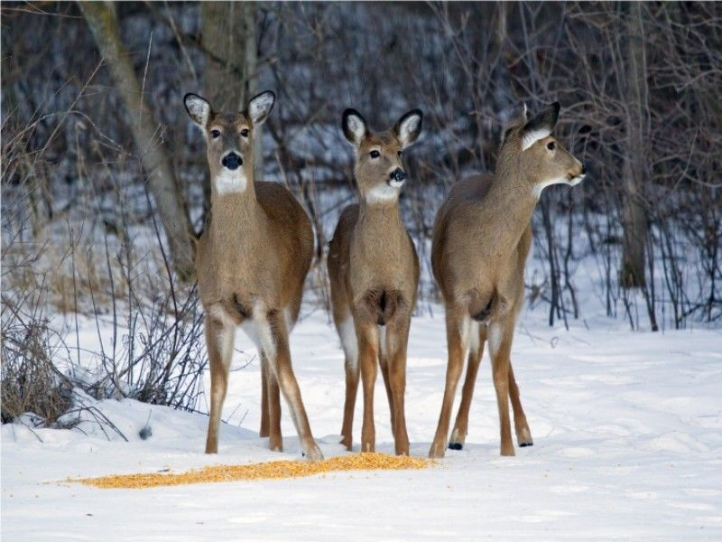 Feeding Deer During Winter Months Can Do More Harm Than Good