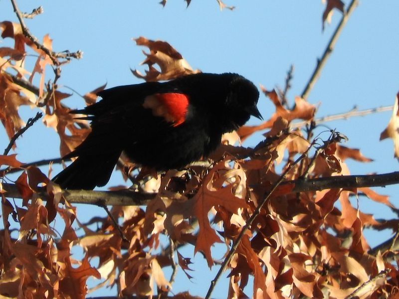 Natural Connections: Red-Winged Blackbirds
